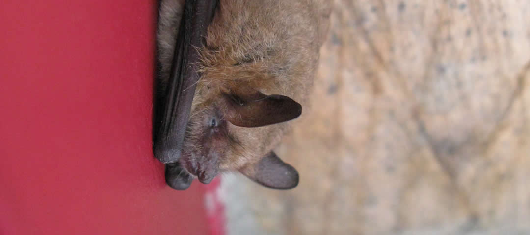 Summer visitor, a bat in Zagori, Greece