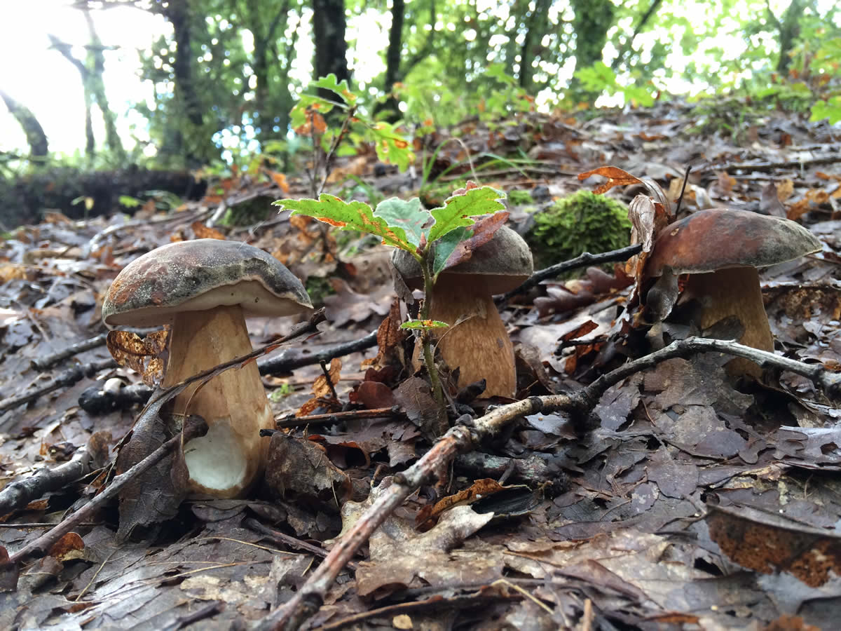 three boletus mushrooms in line in the forest during autumn in the national park of Pindus, Greece