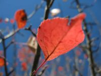 red crab apple leaves
