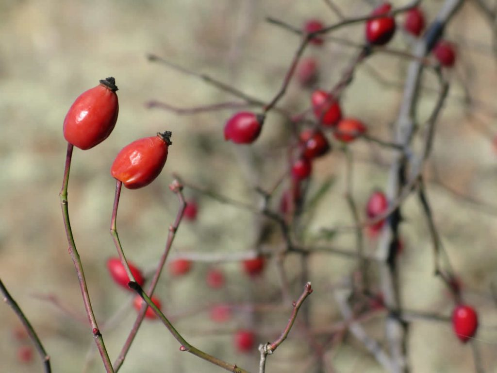 rosa canina bush