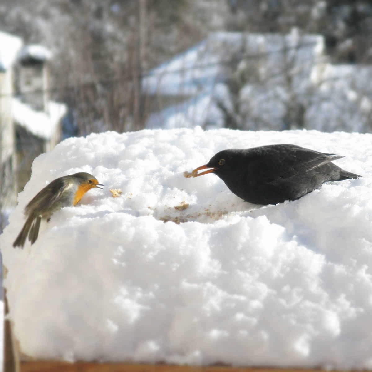 Blackbird vs Red Robin, duel for the breadcrumb!