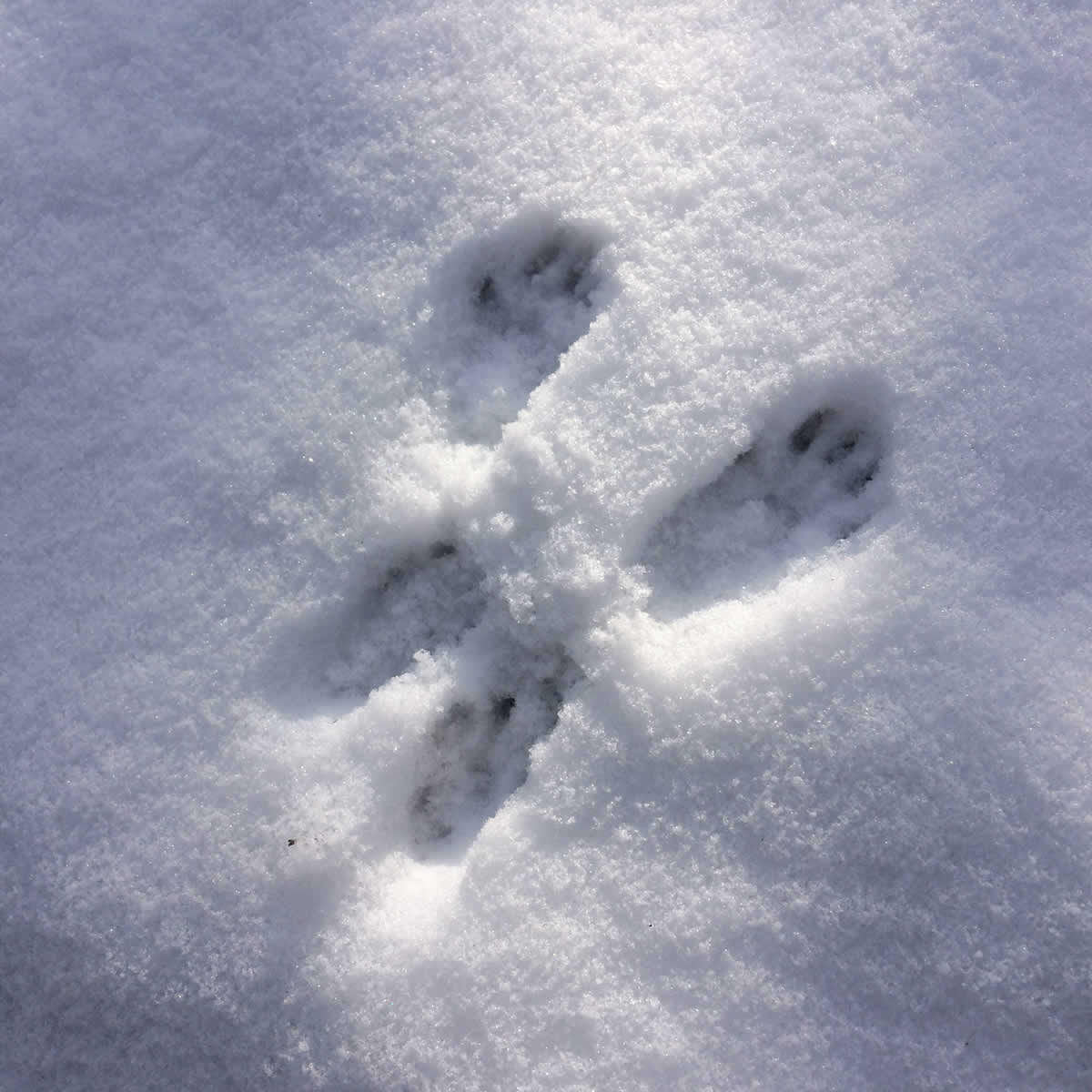 Wild animal foot prints in snow in Zagori, Vikos-Aoos Geopark