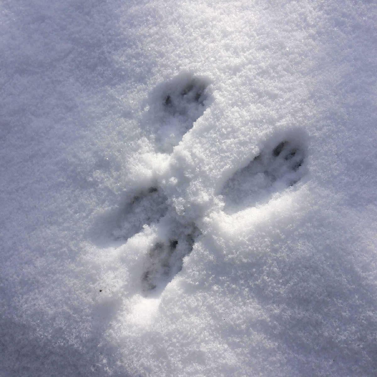 Wild animal foot prints in snow in Zagori, Vikos-Aoos Geopark