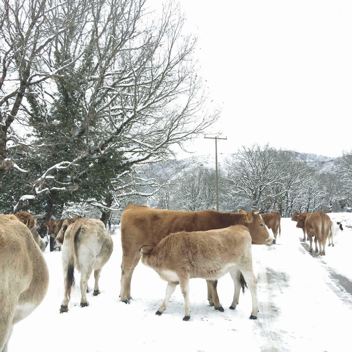 Cows in the middle of the road towards Monodendri and Vitsa villages in Central Zagorochoria