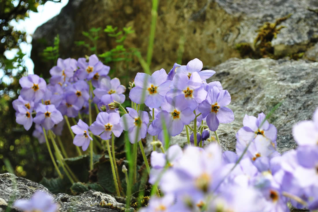 Wildflowers and herbs of Zagori