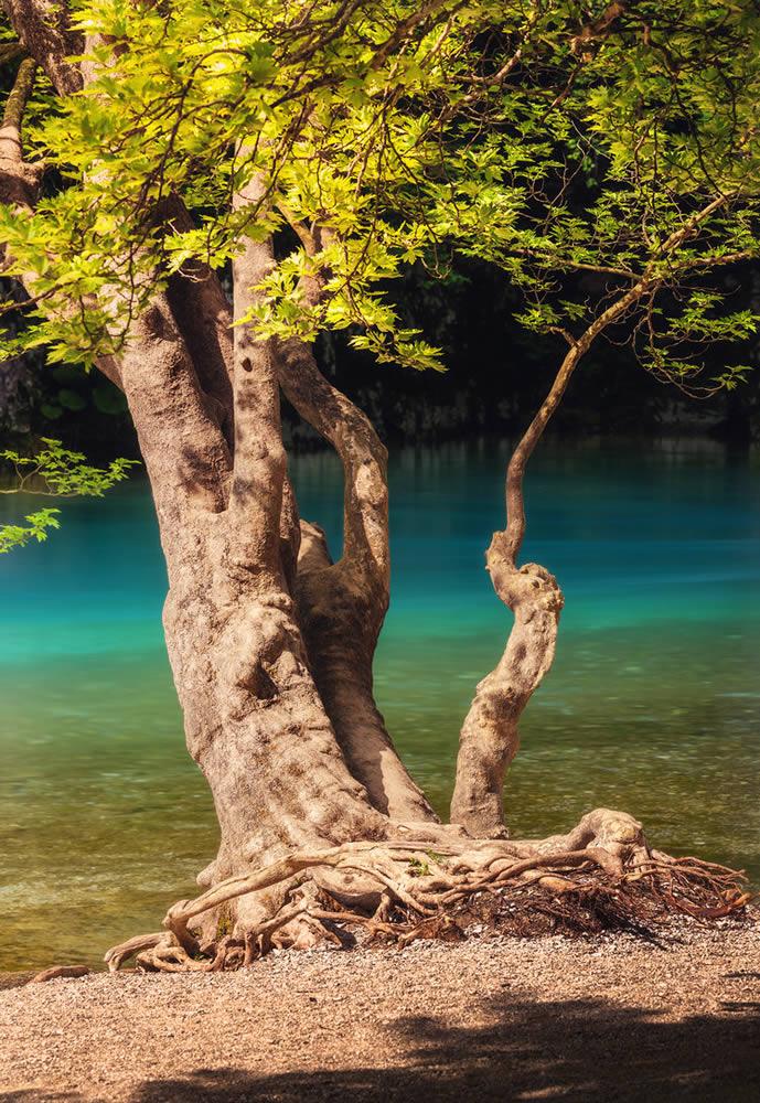 Plane tree hanging over Voidomatis river in Epirus | Alexandros Malapetsas