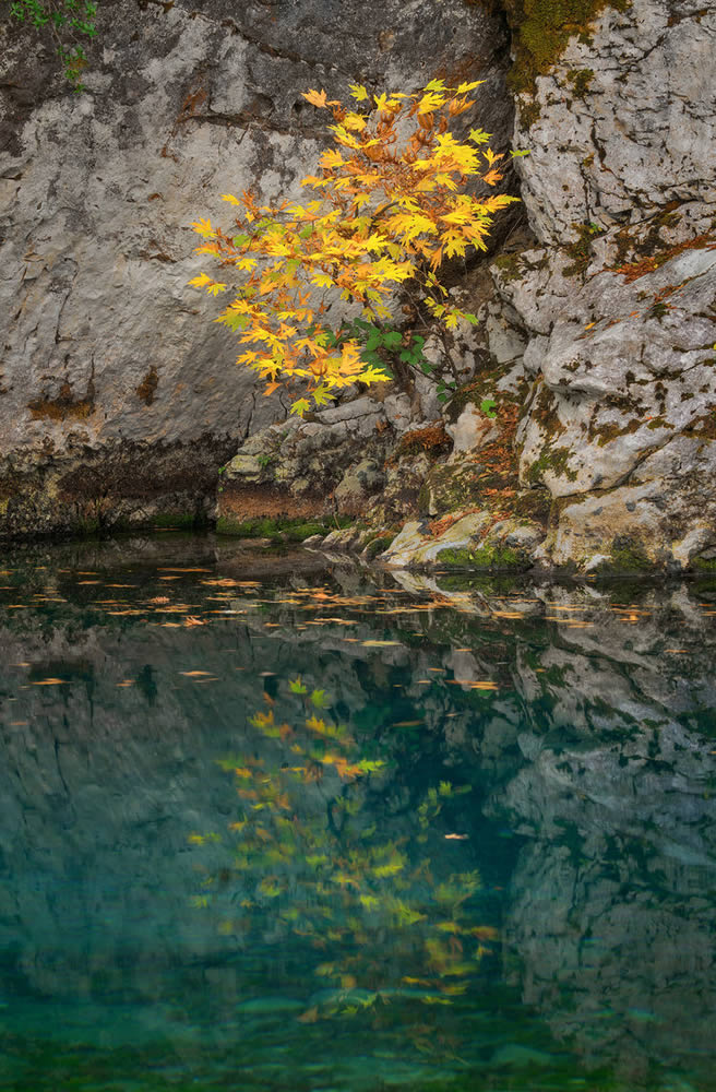 A small plane tree hanging from the rocks, Voidomatis river Vikos-Aoos Geopark | Alexandros Malapetsas